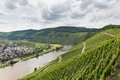 Vineyards in Germany along river Moselle near Punderich Royalty Free Stock Photo
