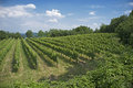 Vineyards in the Italian hills Royalty Free Stock Photo