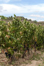 Vineyards in La Rioja Royalty Free Stock Photo