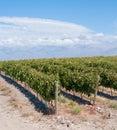 Vineyards of Mendoza, Argentina Stock Image