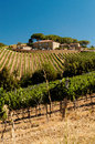 Vineyards of montalcino the home famous tuscan rosso and brunello wines sangiovese grapes Royalty Free Stock Image