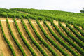 Vineyards montalcino siena tuscany italy summer Royalty Free Stock Photography