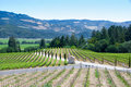 Vineyards at Napa, California. Stock Image