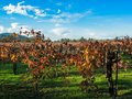 Vineyards in nappa valley california Stock Photography