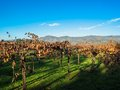 Vineyards in nappa valley california view at Stock Image