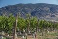 Vineyards in Okanagan Royalty Free Stock Image