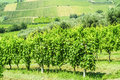 Vineyards in Romagna Royalty Free Stock Photo