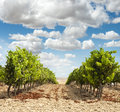 Vineyards in rows and blue sky Stock Photography