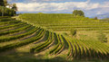 Vineyards on a summer afternoon rows of Royalty Free Stock Image