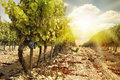 Vineyards at sunset in autumn harvest. Royalty Free Stock Photo