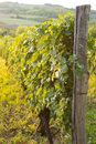 Vineyards at Sunset in Autumn Harvest. Landscape with Organic Grapes on Vine Branches. Royalty Free Stock Photo