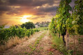 Vineyards on the sunset background Stock Photo