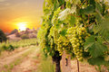 Vineyards on the sunset background Stock Photography