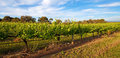 Vineyards in swan valley near perth australia Royalty Free Stock Image