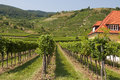 Vineyards of wachau area austria and hills Royalty Free Stock Photography