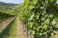 Vineyards of wachau area austria and hills Royalty Free Stock Images