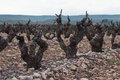 Vineyards in winter cloudy day. La Rioja Royalty Free Stock Image