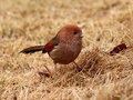 Vinous-throated Parrotbill Stock Image