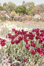 Vinous tulips beautiful flower bed of dark Royalty Free Stock Photo