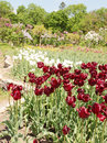 Vinous tulips beautiful flower bed of dark Royalty Free Stock Images