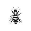 Vintage bee illustration Royalty Free Stock Photo