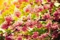 Vintage blossoming sakura Royalty Free Stock Photo