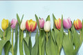 Vintage blue green wooden background with red, pink, white and yellow tulips flowers with empty copy space Royalty Free Stock Photo