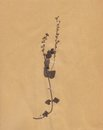 Vintage dried foliage flower on paper dated 1896 Royalty Free Stock Photos
