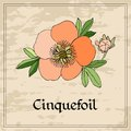 Vintage floral card with cinquefoil flower on grunge background. Royalty Free Stock Photo