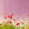 Vintage flower style effect with purple cosmos Royalty Free Stock Images