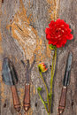 Vintage garden tools and red dahlia on wooden surface Royalty Free Stock Photo