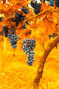 Vintage image of grape Royalty Free Stock Photo