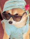 Vintage look from shiba inu dog with jacket hood glasses and rose Royalty Free Stock Image