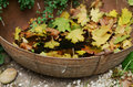 Vintage metal tub with yellow maple leaves bowl fall outdoor decor selective focus on handle Royalty Free Stock Images