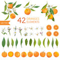 Vintage Oranges, Flowers and Leaves. Lemon Bouquetes Royalty Free Stock Photo