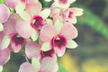 Vintage orchid flowers in the garden Royalty Free Stock Photo