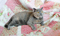 Vintage pedigree cat photo of a british shorthair relaxing on a quilted patchwork floral blanket Stock Image