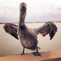 Vintage Pelican Royalty Free Stock Photo