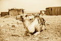 Vintage photo of camel Stock Image