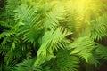 Vintage photo of lush green fern. Pteridium aquilinum Royalty Free Stock Photo