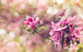 Vintage photo of pink apple tree flowers. Shallow depth of field Royalty Free Stock Photo