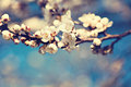 Vintage photo of white apricot tree flowers in spring Stock Image