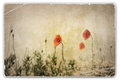 Vintage photograph of poppies in field an old wild red Royalty Free Stock Photos