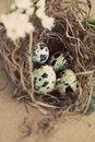 Vintage quail nest with eggs Stock Image