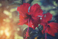 Vintage red hibiscus flower with sunlight, Royalty Free Stock Photo