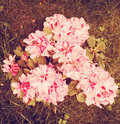 Vintage Rhododendron Stock Photos