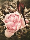 Royalty Free Stock Images Vintage rose