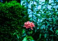 Vintage rose photography nature forest auckland Royalty Free Stock Photo