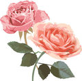 Vintage Roses illustration Stock Photos