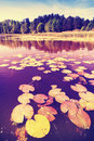 Vintage saturated picture of water lilies. Royalty Free Stock Photo